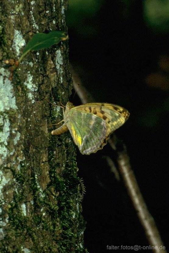 Kaisermantel (Argynnis paphia) Unterseite