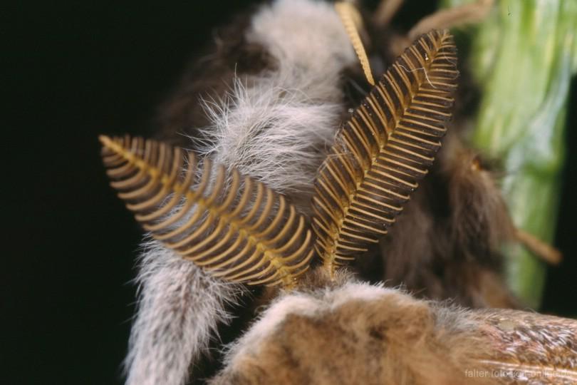 Kleines Nachtpfauenauge (Saturnia pavonia) Männchen