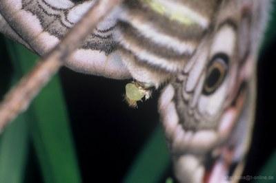 Kleines Nachtpfauenauge (Saturnia pavonia) Weibchen