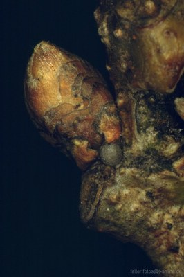 Blauer Eichenzipfelfalter (Neozephyrus quercus), Ei