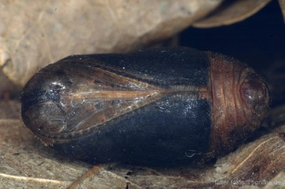 Eichenzipfelfalter (Neozephyrus quercus) Puppe