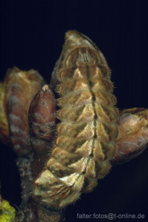 Blauer Eichenzipfelfalter (Neozephyrus quercus) aupe