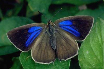 Blauer Eichenzipfelfalter (Neozephyrus quercus), Weibchen