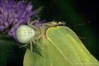 Zitronenfalter (Gonepteryx rhamni) gefangen