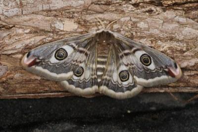 Weibchen 1