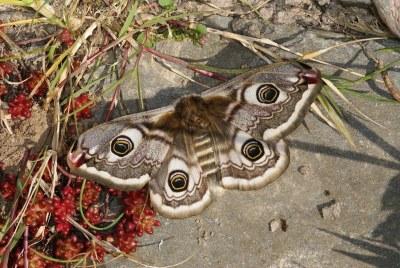 Weibchen 4
