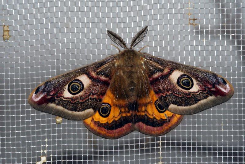 Männchen 3