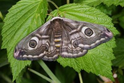 Weibchen 5