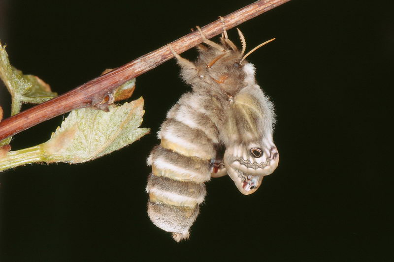 Weibchen frisch geschlüpft