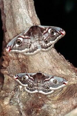 Weibchen Größenvariation