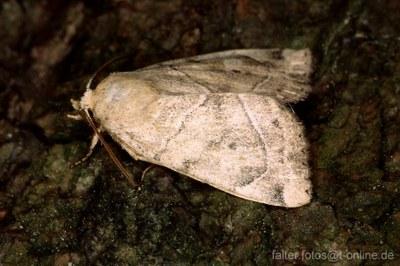 Trapezeule (Cosmia trapezina)