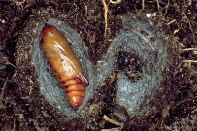 Königskerzenmönch (Cucullia verbasci) Puppe und Kokon