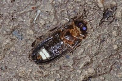 Kleiner Leuchtkäfer (Männchen, Unterseite mit Leuchtorgan)