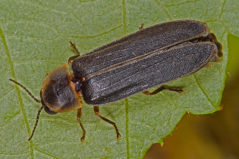 Kleiner Leuchtkäfer (Männchen)