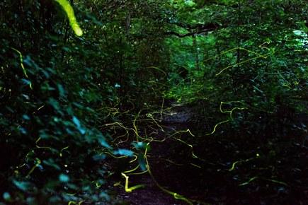 Leuchtkäfer / Glühwürmchen in Opladen (NRW)