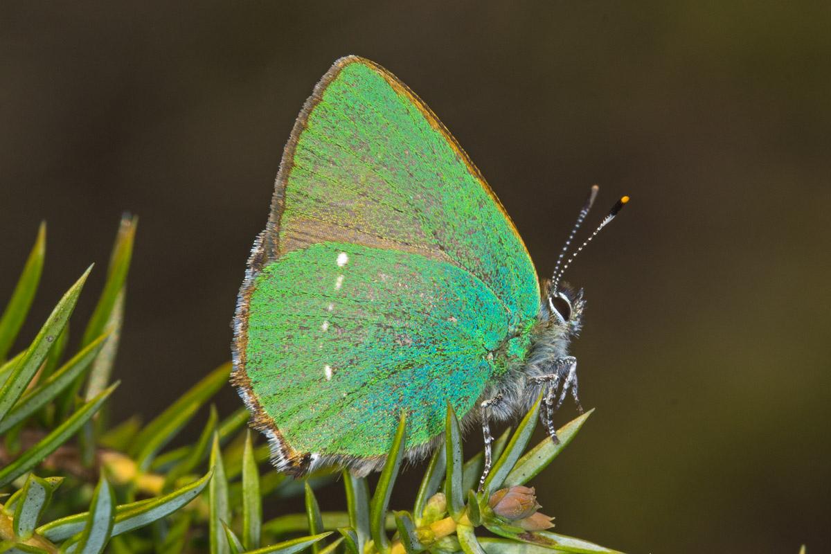 Callophrys rubi - Grüner Zipfelfalter 1