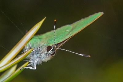 Callophrys rubi - Grüner Zipfelfalter 2