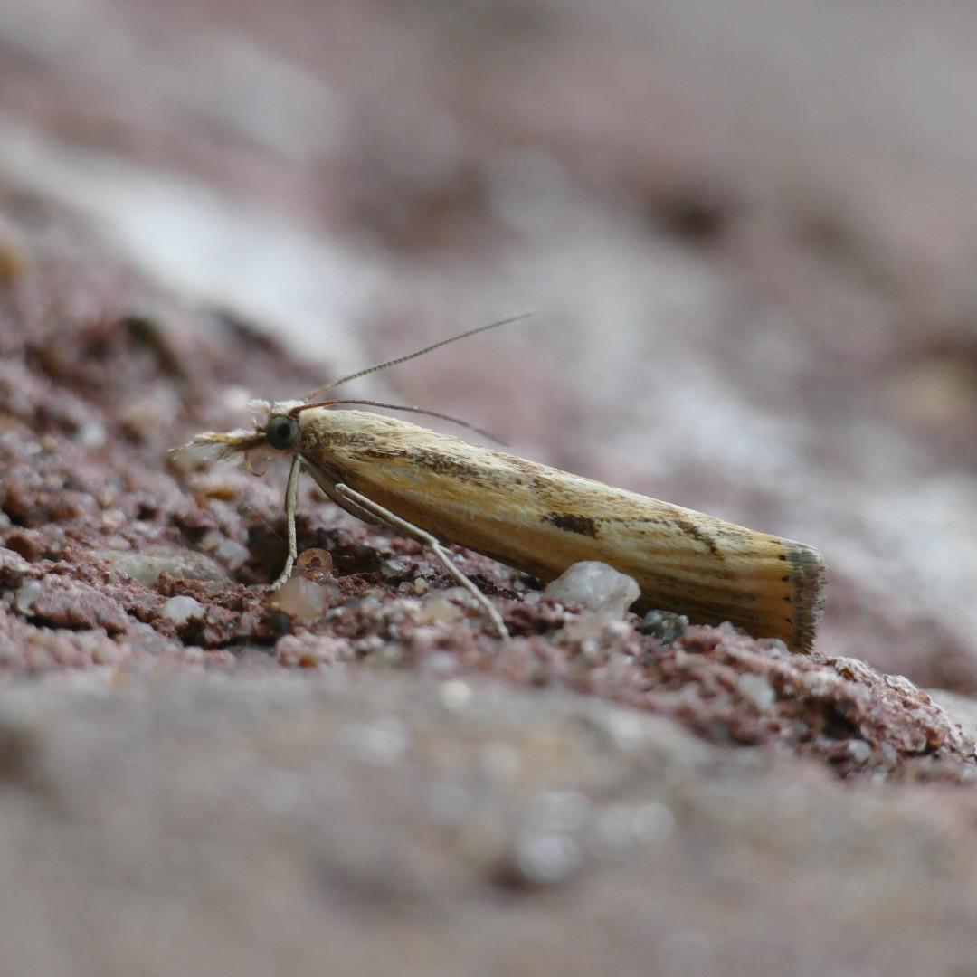 Agriphila inquinatella (Abb. 1)