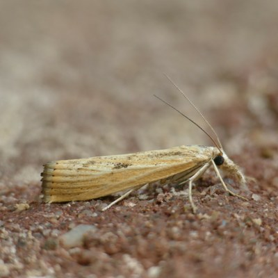 Agriphila inquinatella (Abb. 2)