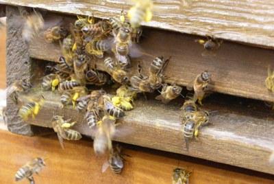 Pollen-schleppende Bienen im Frühjahr