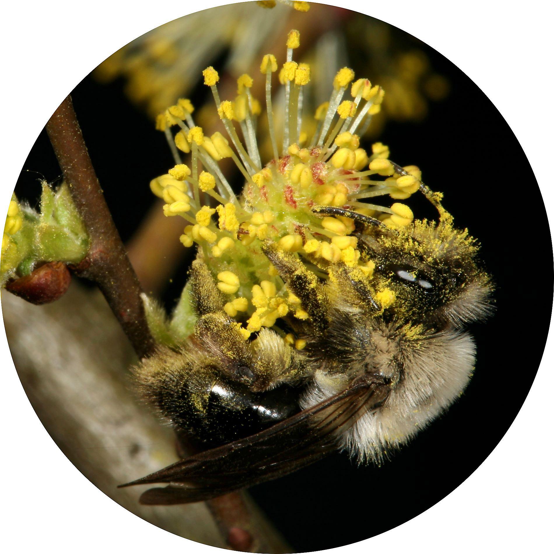 Weidensandbiene - Andrena vaga