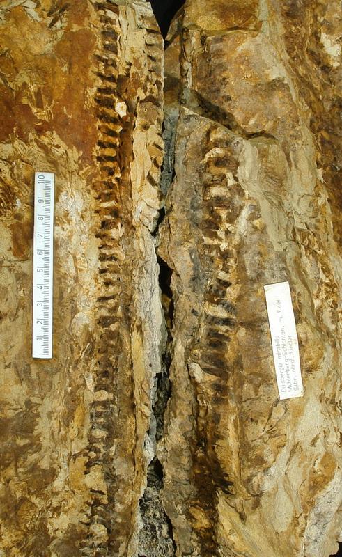 Calamophyton (Duisbergia) Lindlar