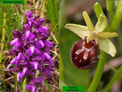 Orchideen am Neusiedler See
